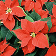 Poinsettia Varieties Art Print