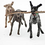 Pointers Rule, Weimaraners Drool Art Print by Michael Fiddleman, fiddography.com