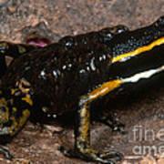 Poison Arrow Frog With Tadpoles Art Print