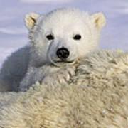 Polar Bear Cub Canada Art Print