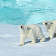 Polar Bear, Ursus Maritimus Art Print