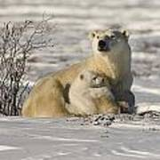 Polar Bear With Cub, Watchee Art Print
