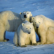 Polar Bear With Cubs Art Print