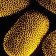 Pollen Of Marsh Woundwort Flower Art Print