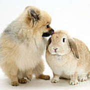 Pomeranian Dog And Rabbit Art Print