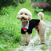 Poodle Wearing Suit Art Print