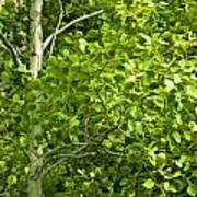 Poplar Tree And Leaves No.368 Art Print