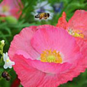 Poppies And Pollinator Art Print