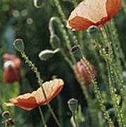 Poppies In A Field In Provence Art Print