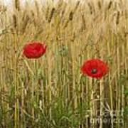 Poppies  In A Field Of Barley Art Print