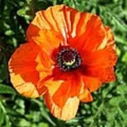 Poppy Blossom Art Print
