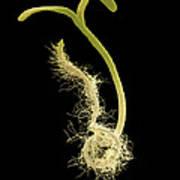 Poppy Seedling, Sem Art Print