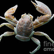 Porcelain Crab Art Print
