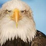 Portrait Of A Bald Eagle Art Print