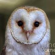 Portrait Of A Barn Owl Art Print