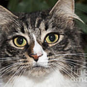 Portrait Of A Cat With Two Toned Eyes Art Print