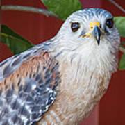 Portrait Of A Hawk Art Print