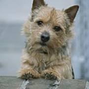 Portrait Of A Norwich Terrier Art Print