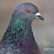 Portrait Of A Pigeon . 7d12327 Art Print by Wingsdomain Art and Photography