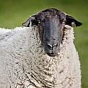 Portrait Of A Sheep Art Print