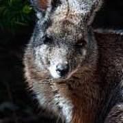 Portrait Of A Wallaby Art Print