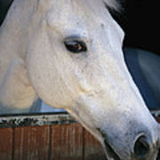 Portrait Of A White Horse Looking Art Print