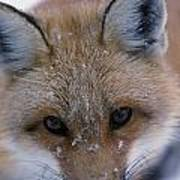 Portrait Of Adult Red Fox Art Print