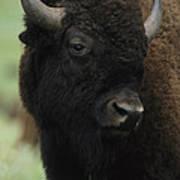 Portrait Of An American Bison Art Print