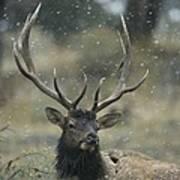 Portrait Of An Elk Or Wapiti Art Print by Norbert Rosing