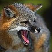 Portrait Of Gray Fox Barking Art Print
