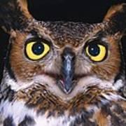 Portrait Of Great Horned Owl Art Print