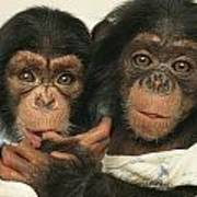 Portrait Of Two Young Laboratory Chimps Art Print