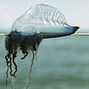 Portuguese Man-of-war Print by Peter Scoones