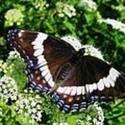 Posing Butterfly Art Print