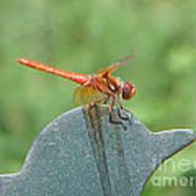 Posing Red Dragonfly Art Print