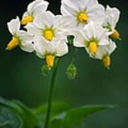 Potato Flowers (solanum Tuberosum) Art Print