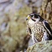 Prairie Falcon On Rock Ledge Art Print