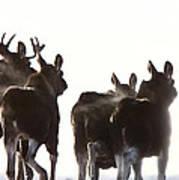 Prairie Moose Saskatchewan Art Print