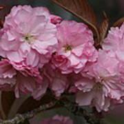 Precious Cherry Blossom Art Print