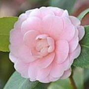 Pretty Camellia Art Print