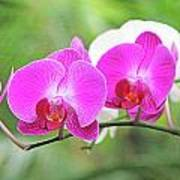 Pretty Orchids All In A Row Art Print