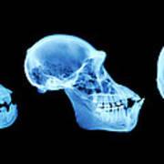 Primate Skulls Art Print