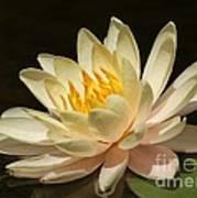Pristine Water Lily Art Print