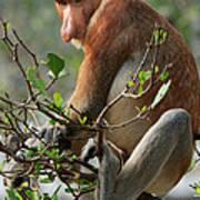Proboscis Monkey Nasalis Larvatus Male Art Print