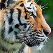 Profile Of A Siberian Tiger Art Print