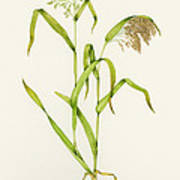 Proso Millet (panicum Miliaceum), Artwork Print by Lizzie Harper