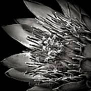 Protea In Black And White Art Print