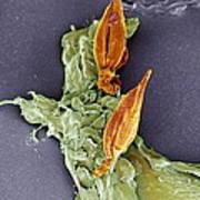 Protozoan Infecting Macrophage, Sem Art Print