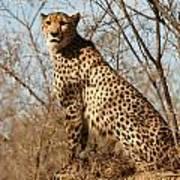 Proud Cheetah Art Print