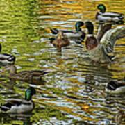 Ducks Unlimited 02 Art Print